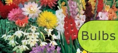 FLOWERING BULBS