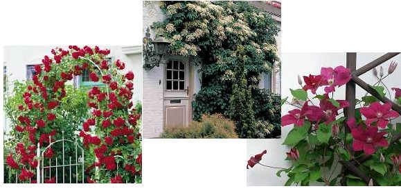 Planting climbers planting guides - Garden arch climbing plants ...