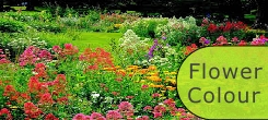 FLOWER COLOUR