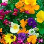 Annuals Hardy Dwarf Mix Seeds
