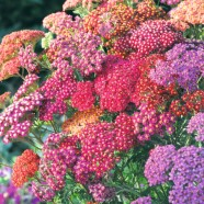 Achillea Summer Berries Seed