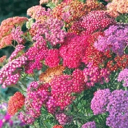 Achillea Summer Berries Mr Fothergill's Seed