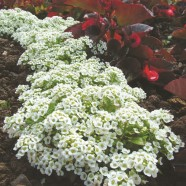 Alyssum Snow Carpet Seed