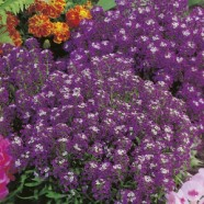 Alyssum Violet Queen Seeds