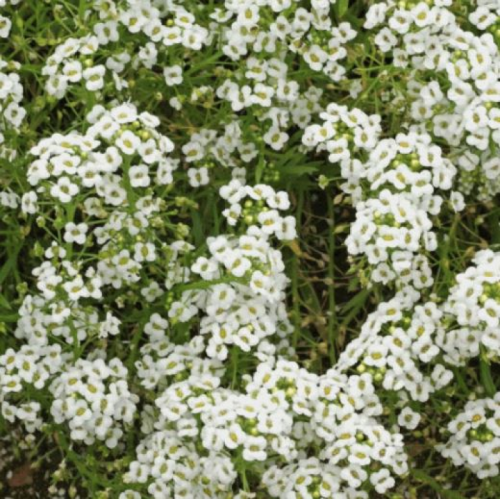 Alyssum Snow Carpet Seeds