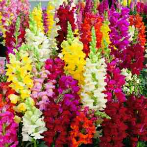 Antirrhinum Intermediate Mix Seeds