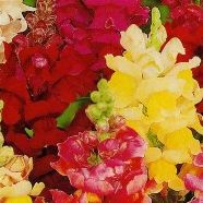 Antirrhinum Intermediate Mix Country Value Range Seed