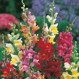 Antirrhinum Snappy Tongue Mr Fothergill's Seed