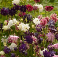 Aquilegia Barlow Mix Seeds