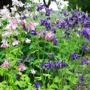 Aquilegia Biedermeier Mix Seeds