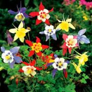 Aquilegia McKana Mix (1 Root)