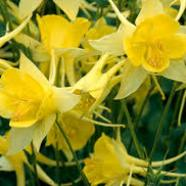 Aquilegia chrysantha Yellow Queen (9cm)