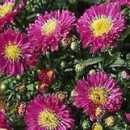 Aster Autumn Jewels Purple Diamond (9cm)
