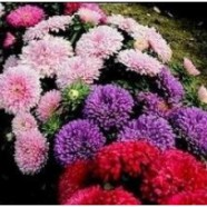 Aster Colour Carpet Country Value Range Seed