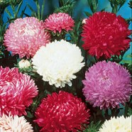 Aster Duchess Mix Country Value Range Seed