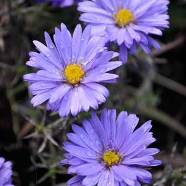 Aster novi- belgi Lady In Blue (9cm)