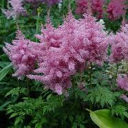 Astilbe Purple (1 Root)