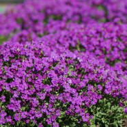 Aubrietia Cascade Purple Multi Buy (3 X 9cm)