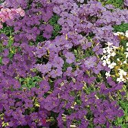 Aubrietia Large Flowering Mix Country Value Range Seed