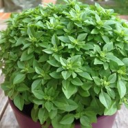 Basil Bush Herb Seeds