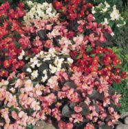 Begonia Sunshine Carpet Kings Seed Range