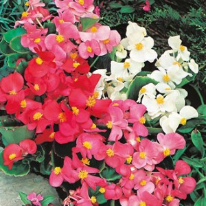 Begonia Summer Rainbow F2 Seeds