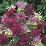 Bergamot Panorama Mixed Mr Fothergill's Seed