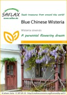 Wisteria Blue Chinese Seeds