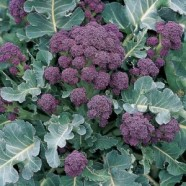Broccoli Early Purple (Sprouting) Country Value Range Seed