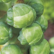 Brussels Sprouts Attwood F1 Seeds