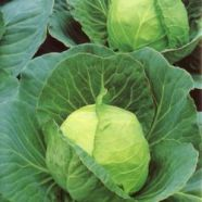 Cabbage Golden Acre Primro Country Value Range Seed