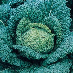Cabbage Savoy Vertus 3 Seeds