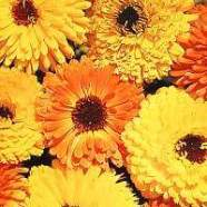 Calendula Art Shade Mix Country Value Range Seed