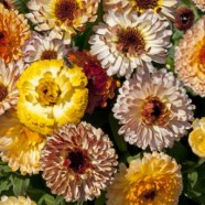Calendula Playtime Mix Seeds