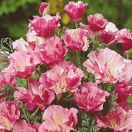 Californian Poppy Apple Blossom Pink Mr Fothergill's Seed