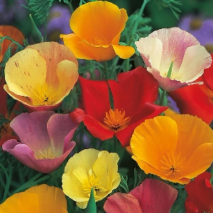 Californian Poppy Single Mix Seeds