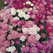 Candy Tuft Fairy Mix Country Value Range Seed
