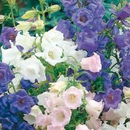 Canterbury Bells Cup & Saucer Mix Mr Fothergill's Seed