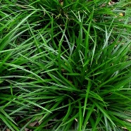 Carex Morrowii Irish Green (9cm)