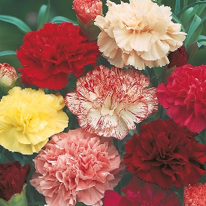Carnation Choice Double Mix Mr Fothergill's Seed