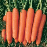 Carrot Nantes Country Value Range Seed