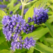 Caryopteris x clandonensis Worcester Gold (1 Ltr)