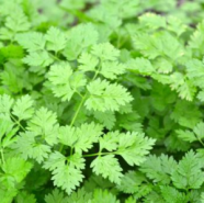 Chervil Simple Herb Seeds