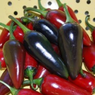 Chilli Pepper Hungarian Black Seeds