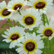Chrysanthemum Polar Star Seeds