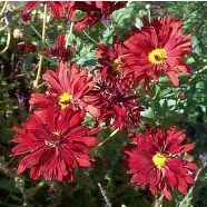 Chrysanthemum Red Velvet (1 Ltr)