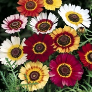 Chrysanthemum Rainbow Mix Country Value Range Seed