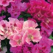 Clarkia Choice Double Mix Seeds
