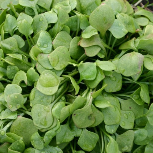 Leaf Salad Claytonia Seeds