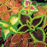 Coleus Top Crown Seeds